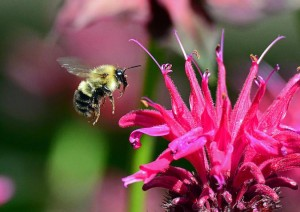 Beautiful Monarda - Native to Virginia and Maryland