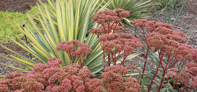 xeriscaping with yucca and sedum