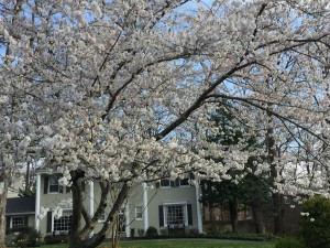 Cherry Blossoms in Charred Oak Estates